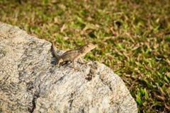 Ödlor kameleont, kameleont på stenen royaltyfria foton
