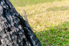 Ödlor kameleont, kameleont på träd arkivbilder