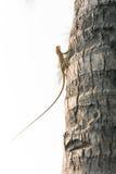Ödlor kameleont, kameleont på träd arkivfoto