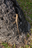 Ödlor kameleont, kameleont på träd fotografering för bildbyråer