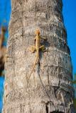 Ödlor kameleont, kameleont på träd arkivbild