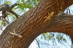 Ödlor som jagar på trädet arkivbilder
