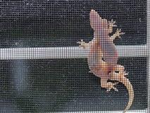 Ödlor som parar ihop på ett fönster arkivbild