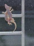 Ödlor som parar ihop på ett fönster fotografering för bildbyråer