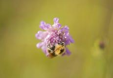 Ödmjukt bi på den purpurfärgade blomman royaltyfri foto