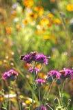 Ödmjukt bi på purpurfärgad vildblomma arkivfoton