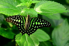 Öffnen Sie geflügelten angebundenen Jay Butterfly Stockfotos
