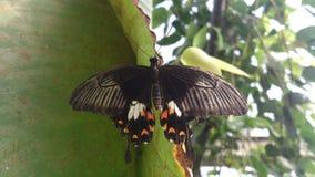 Öffnen Sie geflügelten schwarzen Schmetterling Lizenzfreie Stockfotos
