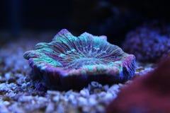 Öffnen Sie korallenrote Gehirn LANGSPIELPLATTEN Lizenzfreie Stockbilder