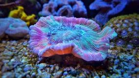 Öffnen Sie korallenrote Gehirn LANGSPIELPLATTEN Lizenzfreie Stockfotos