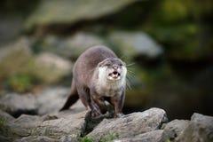 Öffnen Sie Mouthed Orientale Kurz-gekratzten Otter Stockbild