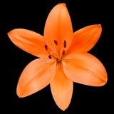Öffnen Sie orange Lily Flower Isolated auf schwarzem Hintergrund Stockbilder