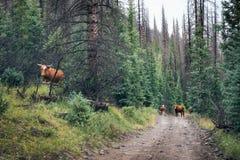 Öffnen Sie Ranch, Kühe auf der Straße in Rio Grande National Forest, Col. lizenzfreies stockfoto