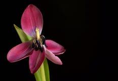 Öffnen Sie rosafarbene Tulpe Lizenzfreie Stockfotografie
