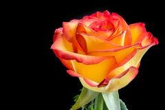 Öffnen Sie Rosafarbenes mit Tautröpfchen Stockfoto