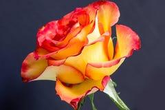 Öffnen Sie Rosafarbenes mit Tautröpfchen Stockbilder