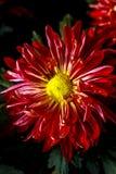 Öffnen Sie schöne Chrysantheme Stockbilder