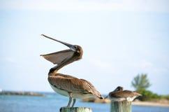 Öffnen Sie Schnabel-Pelikan Stockbilder