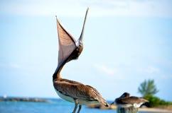 Öffnen Sie Schnabel-Pelikan Lizenzfreies Stockfoto