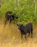 Öffnen Sie Strecken-Vieh-Glacier Nationalpark Stockfotos