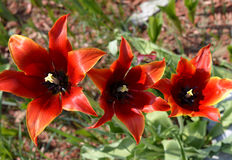 Öffnen Sie Tulpen Lizenzfreies Stockfoto