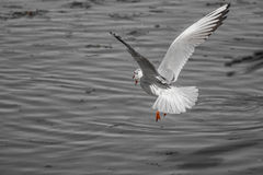 Öffnen Sie Vogelflügel Stockfotos