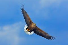 Öffnen Sie Vogelflügel Großer Raubvogel auf dem Himmel Seeadler, Haliaeetus albicilla, großer Raubvogel auf thy dunkelblauem Himm Stockfotografie