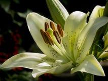 Öffnen Sie weiße Lilie der Blume Stockbilder