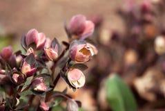 Öffnende Lenten Rose Flower im Frühjahr stockbilder