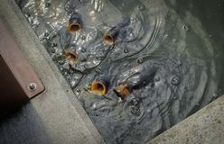 Öffnende Münder der Fische in einem Teich stockbild