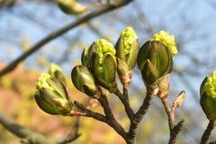 Öffnungsknospen von Blättern im Vorfrühling Lizenzfreie Stockfotos