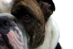 Öga av bulldoggen Royaltyfri Fotografi