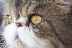 Öga av den persiska katten Royaltyfri Fotografi