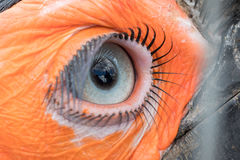 Öga av den sydliga jordhornbillen Royaltyfri Foto
