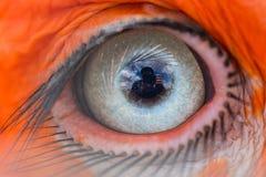 Öga av den sydliga jordhornbillen Fotografering för Bildbyråer