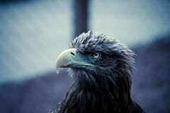 Öga av Eagle Royaltyfri Bild