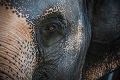 Öga av elephasmaximusen för asiatisk elefant Slapp fokus royaltyfri bild