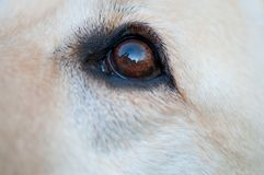 Öga av en apportörhund Arkivbilder