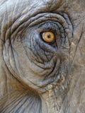 Öga av en elefant Arkivfoton