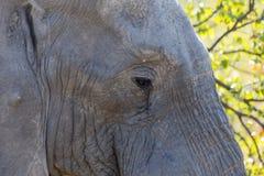 Öga av en elefant Royaltyfri Fotografi