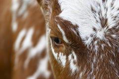 Öga av en ko Arkivfoton