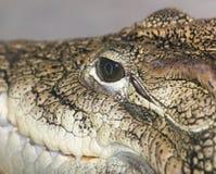 Öga av en krokodil Fotografering för Bildbyråer