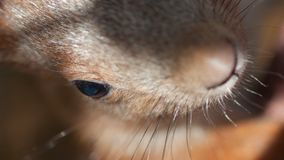 Öga av en röd ekorre med näshår arkivfoton