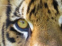 Öga av en tiger Arkivbild