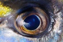 Öga av fiskcloseupen Royaltyfri Bild