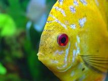 Öga av fisken Diskus arkivfoto