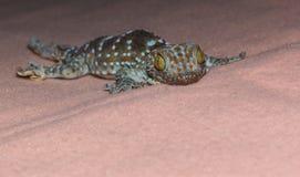 Öga av geckon arkivbild