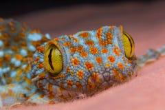 Öga av geckon royaltyfria foton