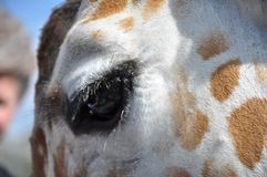 Öga av giraffet Arkivfoton