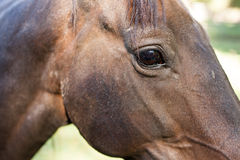 Öga av hästen Royaltyfria Foton